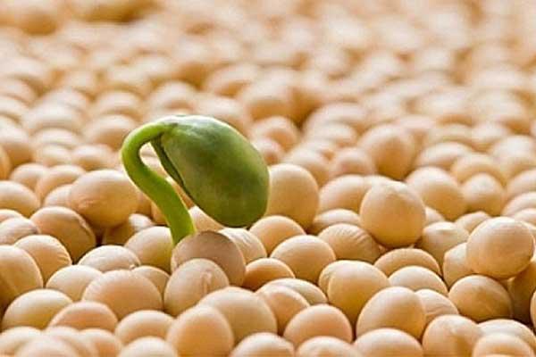 cách uống mầm đậu nành giảm cân tăng vòng 1